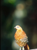 Bamboo Partridge  Zoo Animal