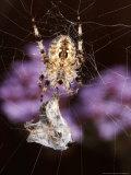 Garden Spider on Web with Prey  Middlesex  UK