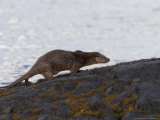 European Otter  Female Otter Running on Dark Bedrock on the Loch Shore  Scotland