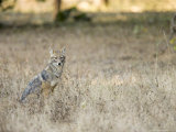 Indian Jackal Sitting in Long Grass  Madhya Pradesh  India