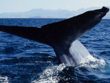 Blue Whale  Flukes  Baja California  Mexico
