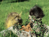 Porcupine  Mother and Baby  Montana  USA