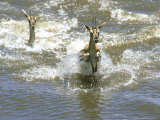 Thomsons Gazelle  Female Swimming  Kenya