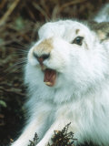 Mountain Hare or Blue Hare  Yawning and Stretching  Scotland  UK