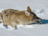 Coyote  Catching Mouse in Winter Snow  USA