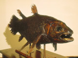 Coelacanthe in the East London Museum  South Africa