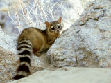 Ringtail Cat  USA