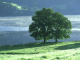 Lakeside Trees  Lake District  England