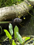 Mink Adult in Water