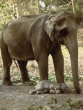 Asian Elephant  with One Day Old Baby  India