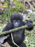 Mountain Gorilla  Youngster at Play  Rwanda