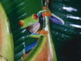 Gaudy Leaf Frog  Costa Rica