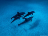 Atlantic Spotted Dolphins  Swimming  Bahamas