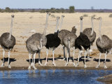 Ostrich  Male and Females Drinking  Botswana