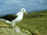 Black-Browed Albatross  Standing  Falklands