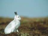 Mountain Hare or Blue Hare  Conspicuous with No Snow  Scotland  UK