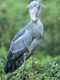 Shoebill in Habitat  Uganda