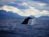 Sperm Whale  Raising Flukes  New Zealand