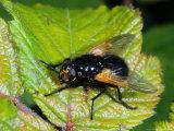 Muscid Fly  Adult Basking on Leaf  Cambridgeshire  UK
