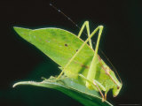 Katydid  Costa Rica