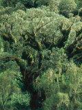Hagenia Abbysinnica Trees  Rwanda