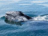 Grey Whale  Porpoising  Mexico