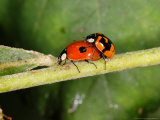 2-Spot Ladybirds  Adults Mating  Kent  UK