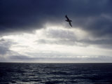 Southern Giant Petrel at Sea  Argentina