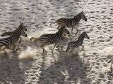 Burchells Zebra  Group from Above  Botswana