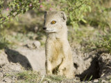 Yellow Mongoose  Male Emerging from Burrow  Botswana