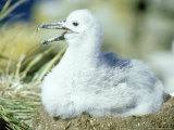 Black-Browed Albatross  Falklands