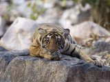 Bengal Tiger  10 Month Old Cub Lying  India