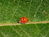 10-Spot Ladybird  Feeding  Cambridgeshire  UK