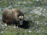 Musk Ox  Dovorfjell  Norway