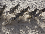 Burchells Zebra  Group from Above  Botswana