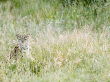 Leopard  Female Camouflaged in Long Grass  Botswana