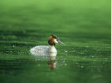 Great Crested Grebe  Swimming  Gloscestershire