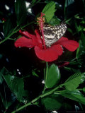 Citrus Swallowtail  Feeding from Hibiscus Rosa Sinensis  the Gambia