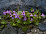 Ivy-Leaved Toadflax Growing in Wall  Isle of Iona  Scotland