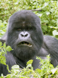 Mountain Gorilla  Male Silverback Mouth Open  Rwanda