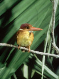 Rufous Backed Kingfisher  Ujung Kulon  Indonesia