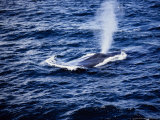 Blue Whale  Blowing  Baja Calif