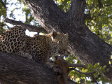 Leopard  Male with Kill in Tree  Botswana