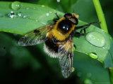 Hoverfly  Adult Resting on Wet Leaf  Cambridgeshire  UK