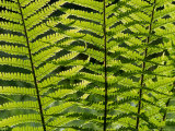 Male Fern  Inverness-Shire