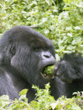 Mountain Gorilla  Male Silverback Eating  Rwanda