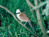 White Crested Laughing Thrush  Sumatra  Indonesia