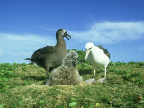 Black-Footed Albatross  and Laysan Albatross