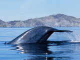 Blue Whale  Raising Fluke  Sea of Cortez