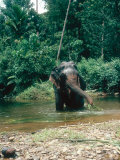 Asian Elephant  Bull in Stream  Sri Lanka